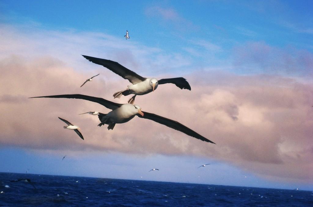 albatros-556567_1280