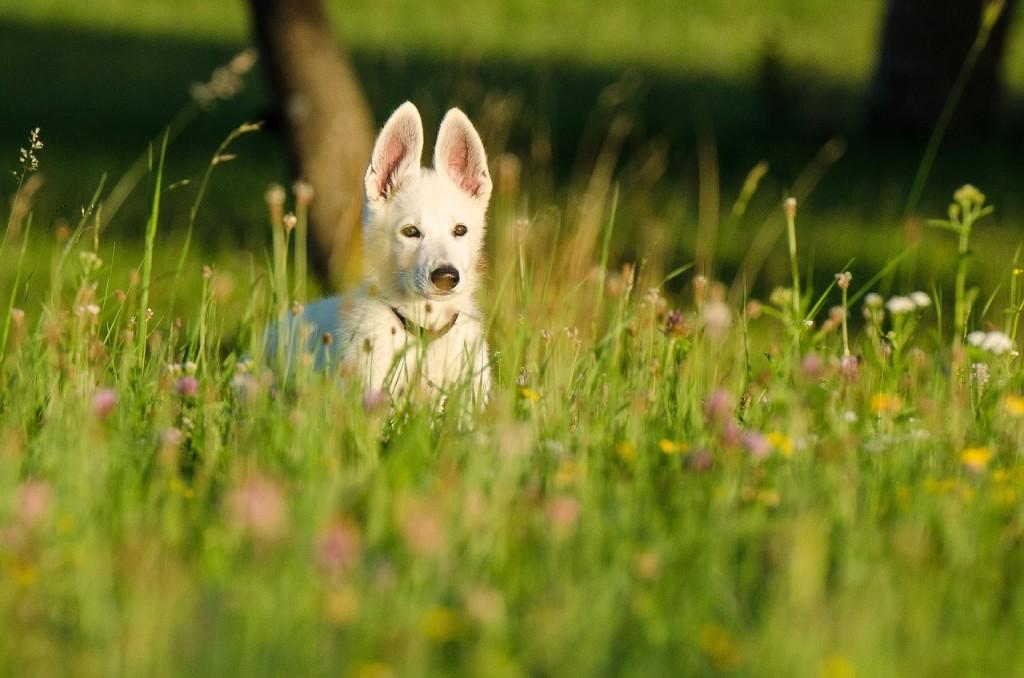 schafer-dog-662701_1280