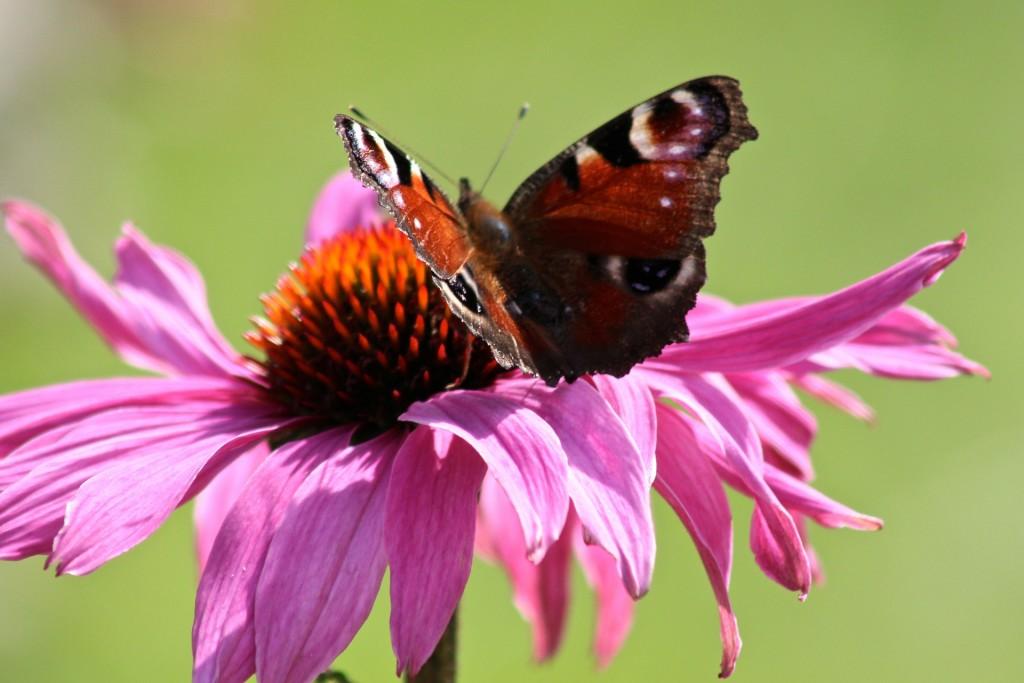 butterfly-349613_1920