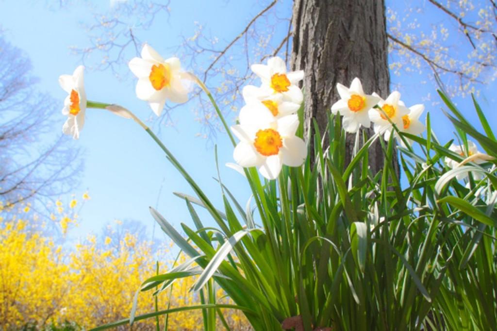 daffodils-684225_1280