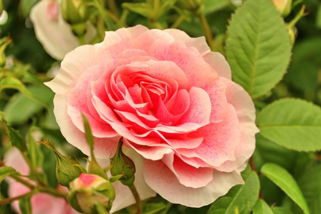 rose-573405_1280