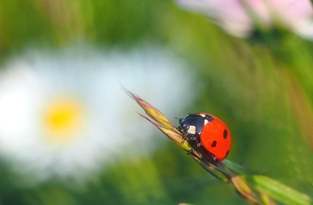 ladybug-1354994_1280