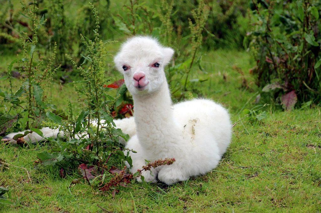alpaca-1531980_1280