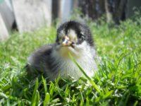 chicken-1265421_1280