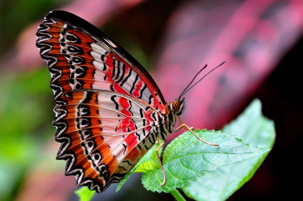 red-lacewing-1394296_1280
