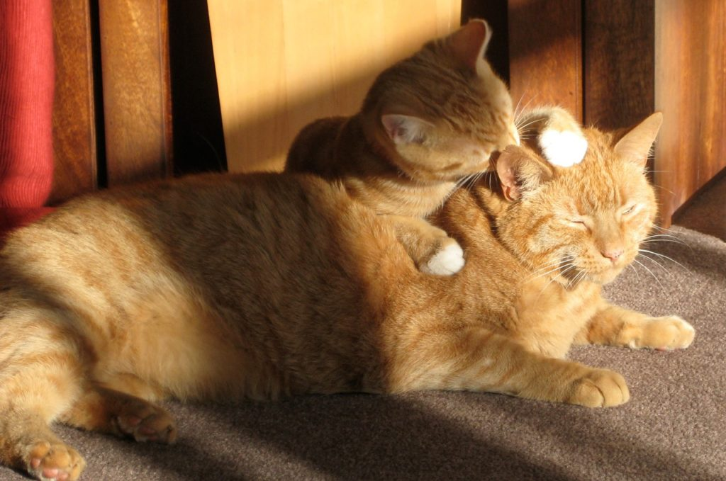 two-ginger-cats-650546_1280