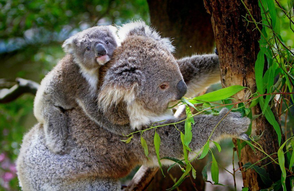 koala-61189_1920