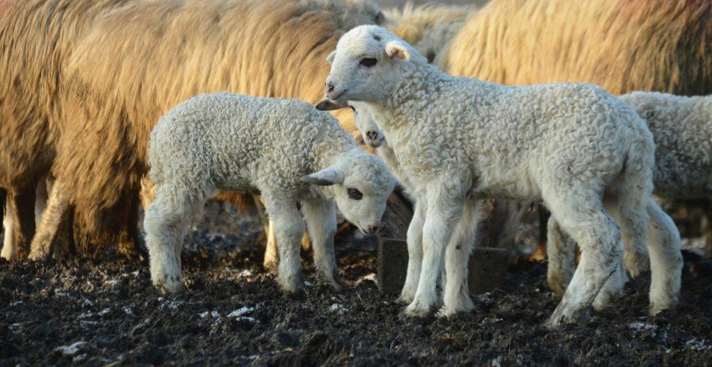 lamb-1341546_1280