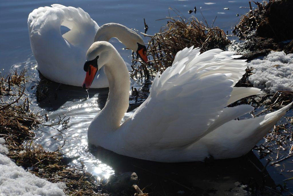 swan-746942_1280