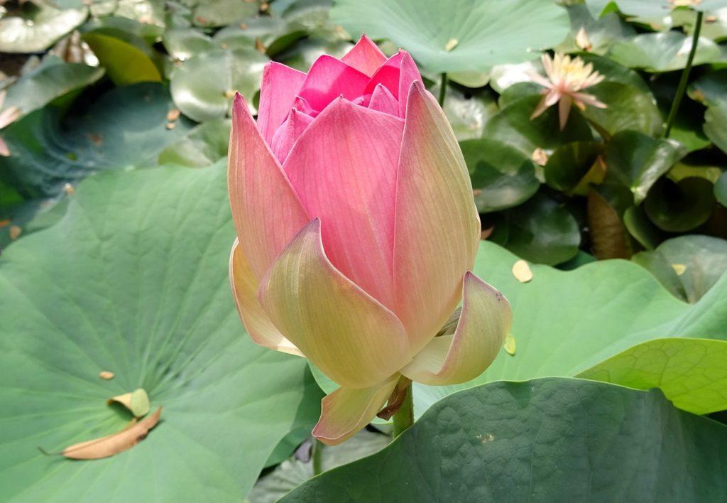 lotus-1787773_1280